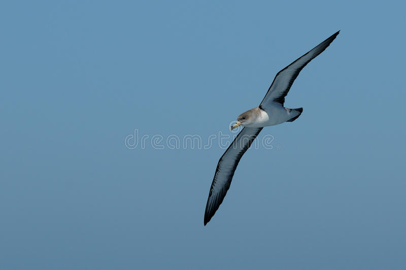 Flying Cory's Shearwater. This shearwater i can photograph from a boat royalty free stock photo