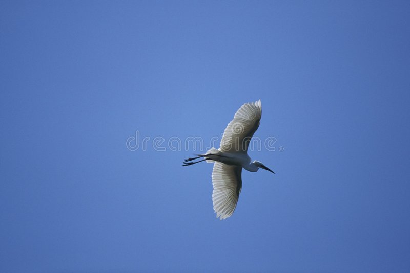 Download Flying Crane stock photo. Image of nature, outdoors, season - 77368
