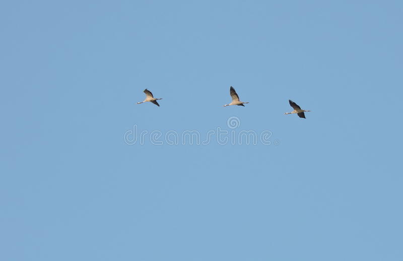 Flying crane birds. In blue sky background, Lithuania stock photography