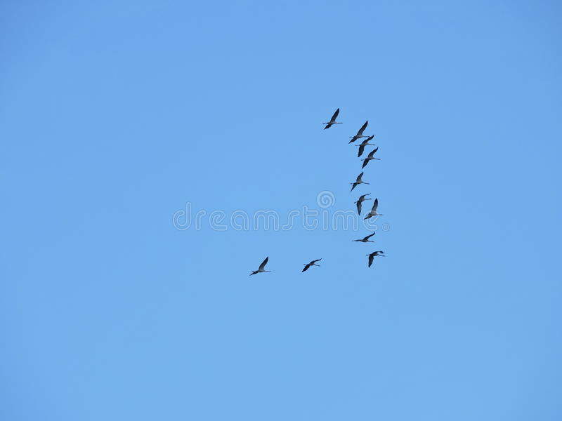 Flying crane birds. In blue sky background, Lithuania stock images