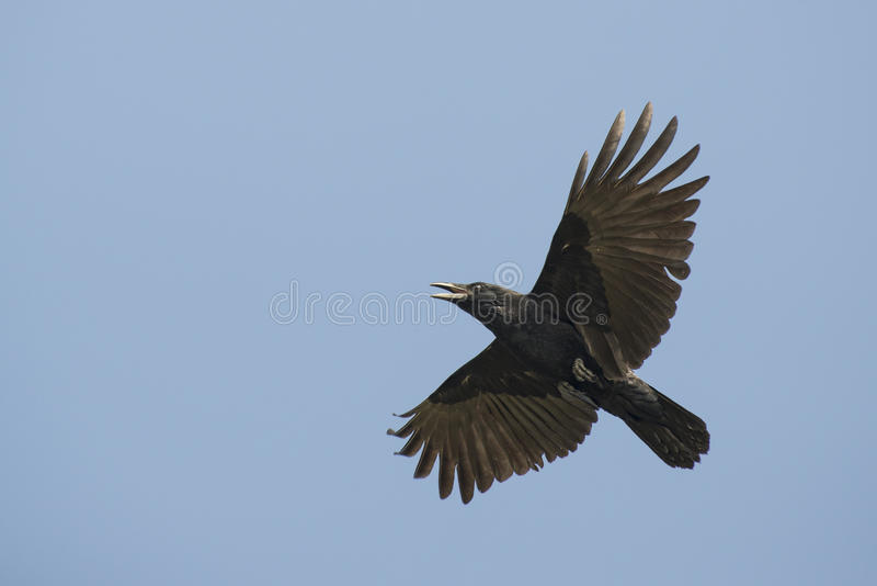 Flying crow royalty free stock images