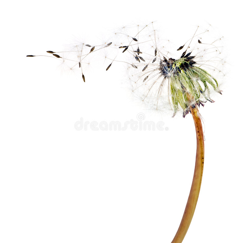 Flying dandelion seeds. Isolated over white stock image