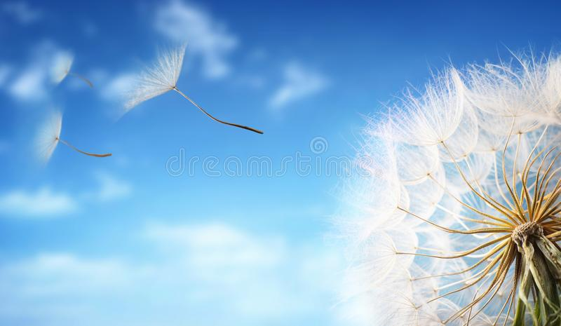 Flying Dandelion seeds in the morning sunlight. royalty free stock photo