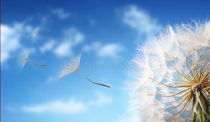 Flying Dandelion seeds in the morning sunlight. Flying Dandelion seeds in the morning sunlight blowing away in the wind across a blue sky stock photo