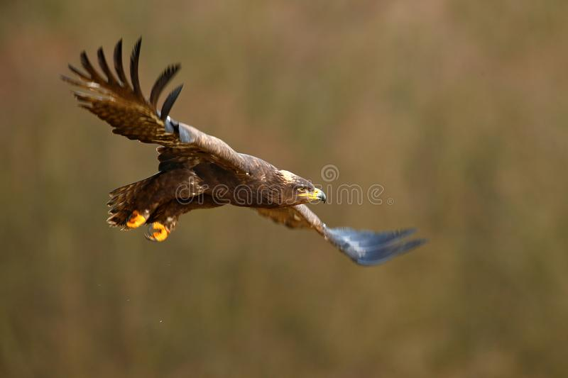 Flying dark brawn bird of prey Steppe Eagle, Aquila nipalensis, with large wingspan. Wildlife scene from nature. Action fly scene royalty free stock photos