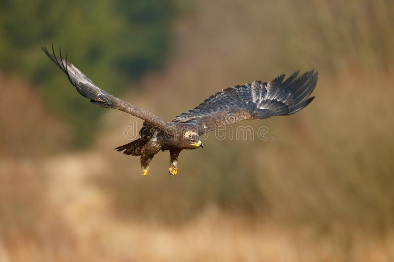 Flying dark brawn bird of prey Steppe Eagle, Aquila nipalensis, with large wingspan. Wildlife scene from nature. Action fly scene. With eagle. Wildlife Europe stock photography