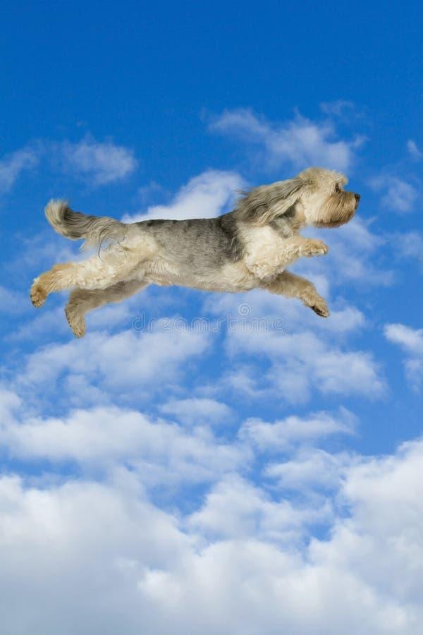 Flying dog. Humorous photo of superhero dog stock photography