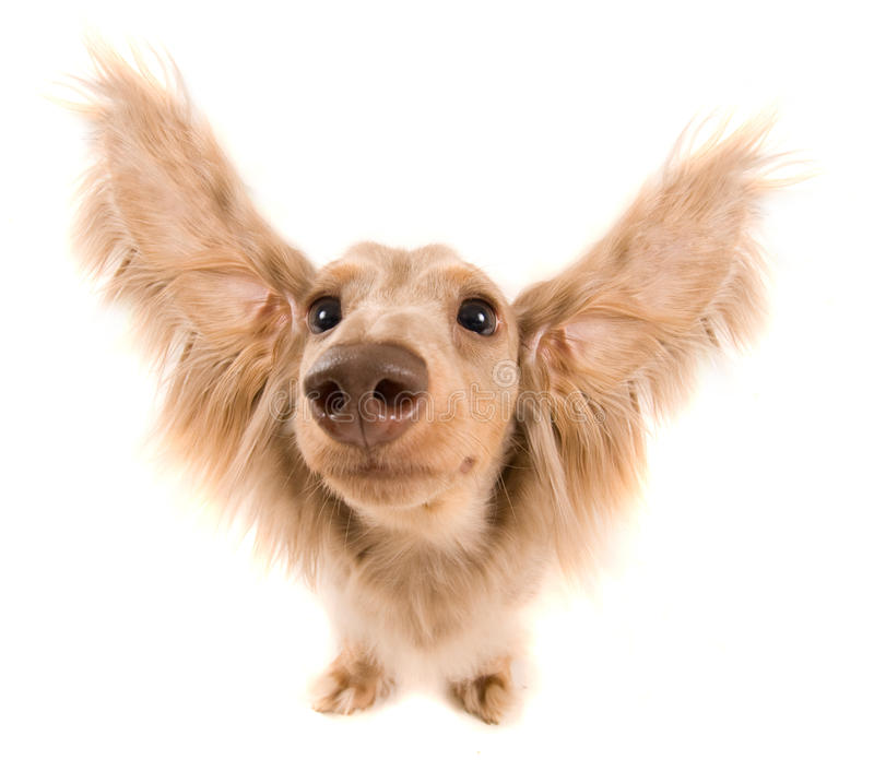 Flying dog. A cute dachshund with ears flying out