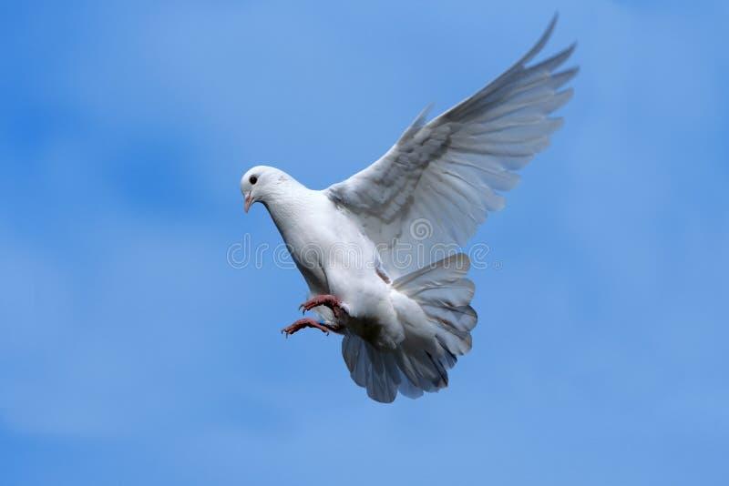Flying dove. White dove flying in Sky