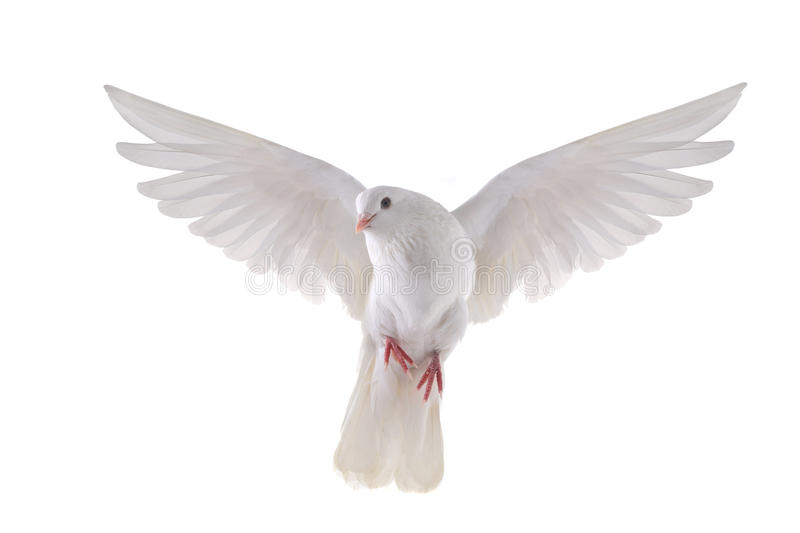 Flying dove stock images