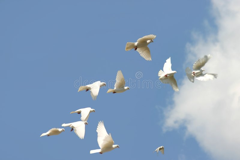 Flying doves. Flying white doves or pigeons stock image