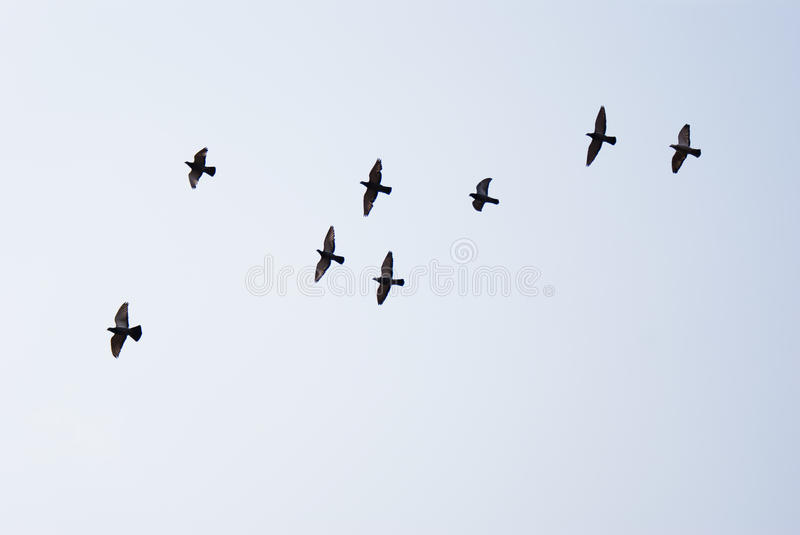 Flying doves stock photography
