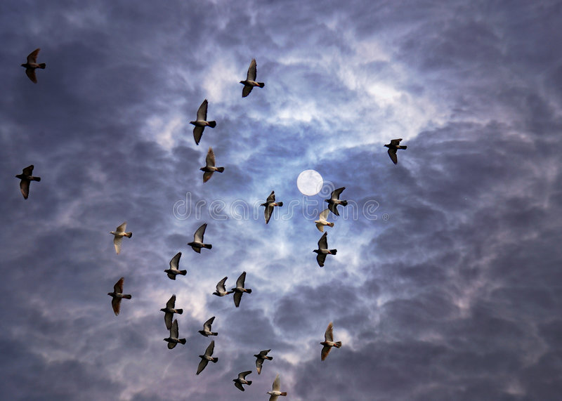 Flying Doves. Flying gray doves or pigeons under a cloudy sky royalty free stock photos