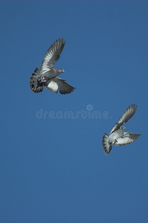 Flying Doves stock images