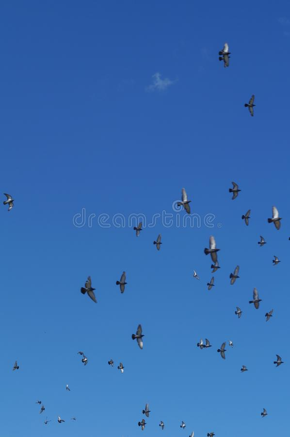 Flying doves in the sky. Flying doves in the blue sky vertical background royalty free stock photography