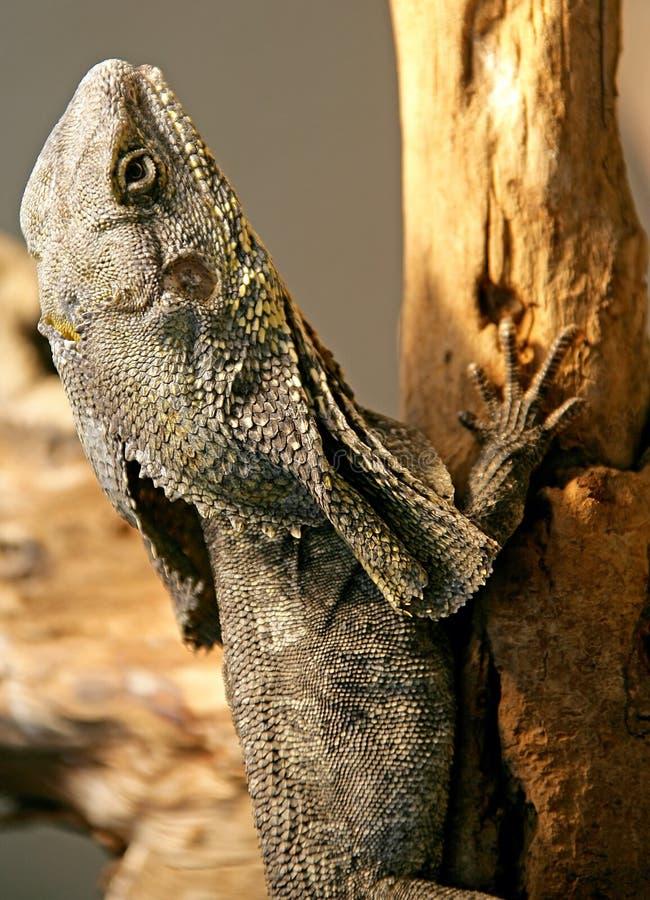 Free Flying Dragon Lizard 2 Stock Photo - 2231830