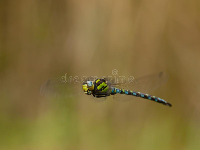 Flying dragonfly - blue hawker Aeshna cyanea royalty free stock image