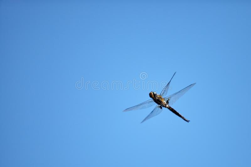 Flying dragonfly with blue sky background royalty free stock photo