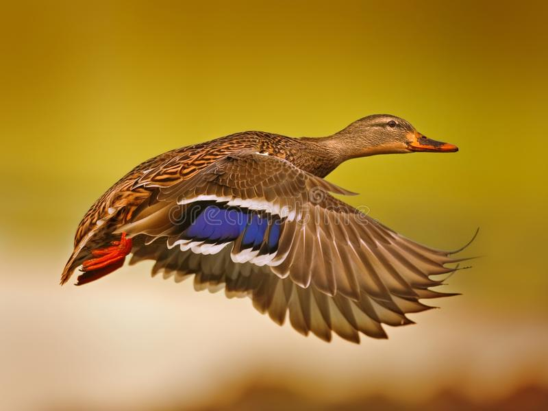 Flying duck. Taken with 400mm f2. 8 L IS proffesional lens in our village Bernolakovo. Sharp and nice blurred backround stock images