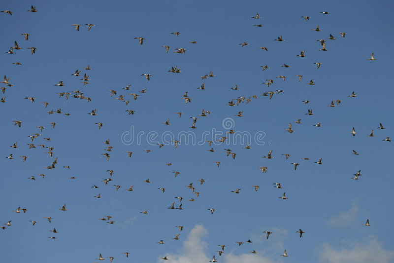 Download Flying Ducks Royalty Free Stock Photography - Image: 1011917