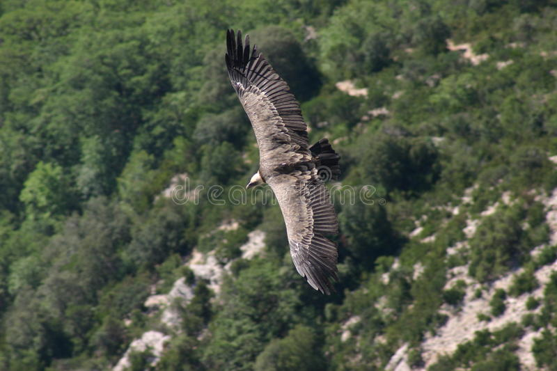 Flying Eagle. Above a canyon in Southern France stock photos