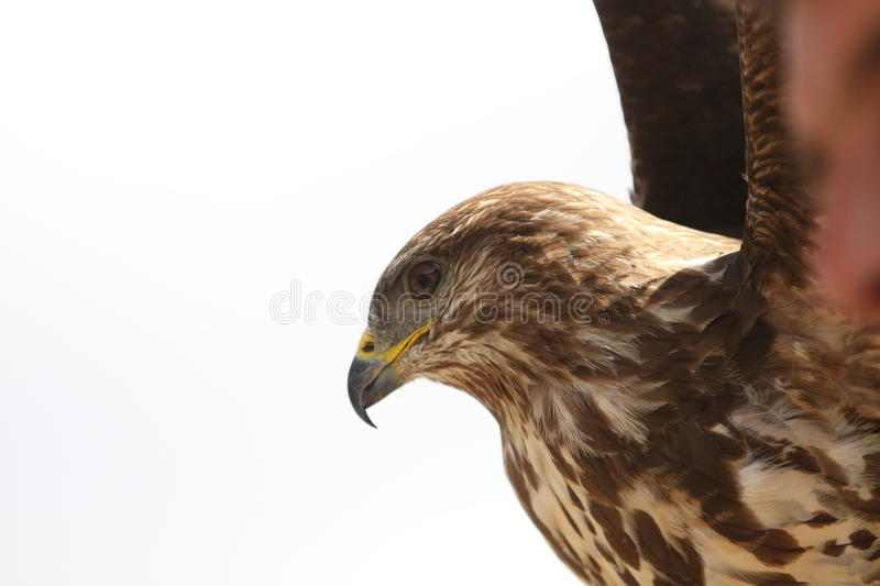 Flying eagle. The detail of flying white-tailed eagle royalty free stock image