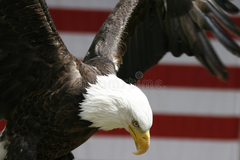 Flying Eagle royalty free stock photos
