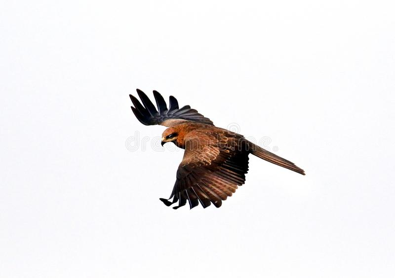 Flying eagle. Beautiful shot of wild flying eagle royalty free stock photography