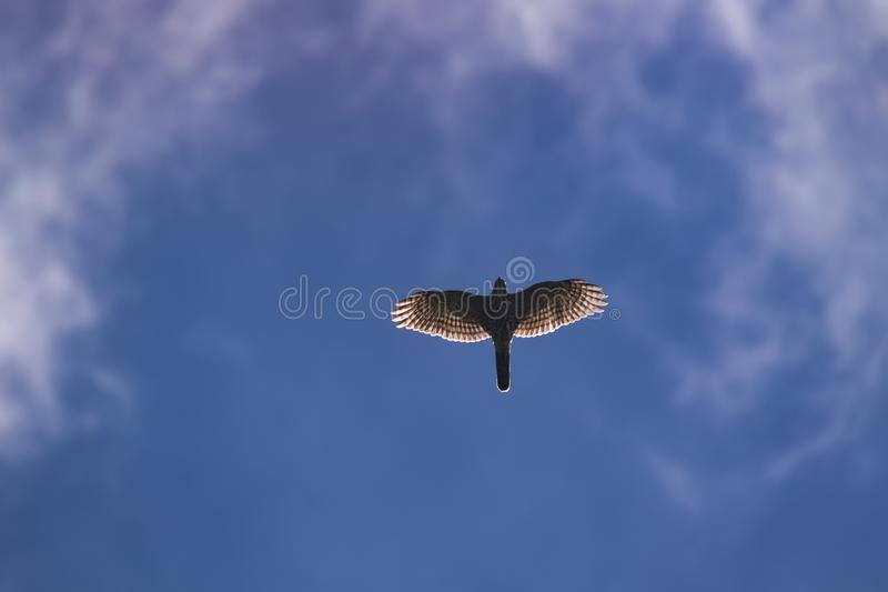 Flying eagle in the sky royalty free stock images