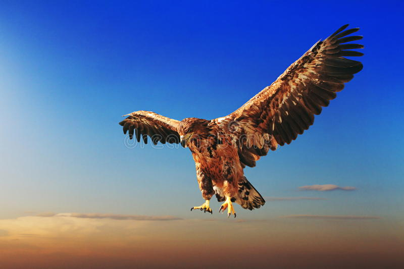 Flying eagle. On blue sky royalty free stock image