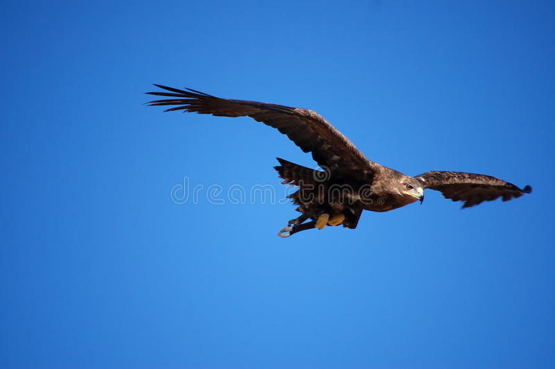Flying eagle. Flying in blue sky eagle with big wings royalty free stock photography
