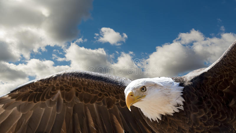 Flying eagle. Closeup of a bald eagle flying in a cloudy sky with room for text