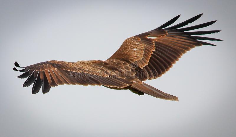 Flying eagle. It looks amazing to see a flying eagle royalty free stock photography