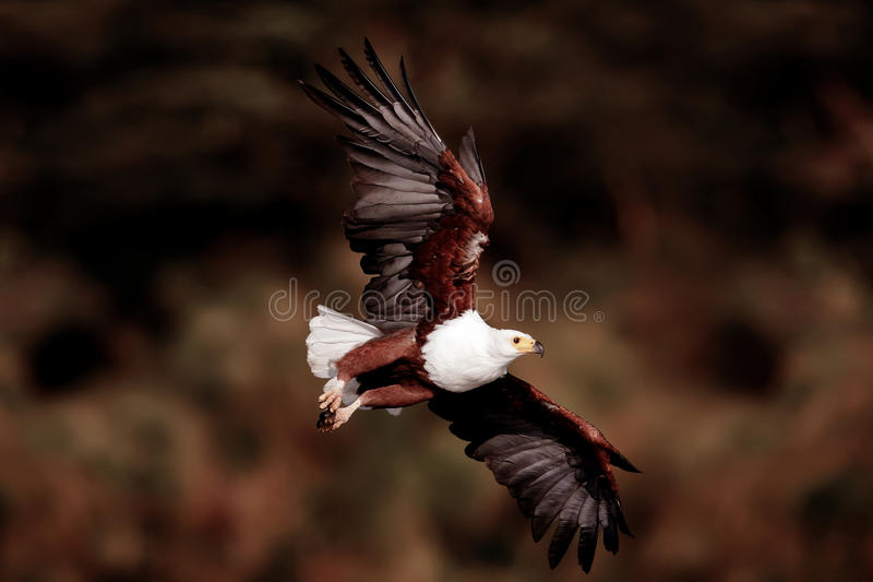 Flying eagle. In search of prey royalty free stock image