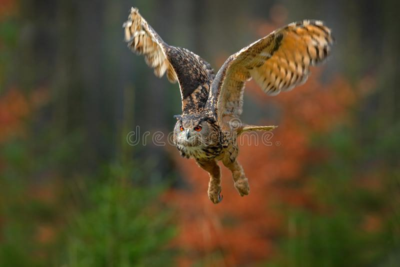 Flying Eurasian Eagle Owl, Bubo bubo, with open wings in forest habitat, orange autumn trees. Wildlife scene from nature forest, S. Weden stock photos