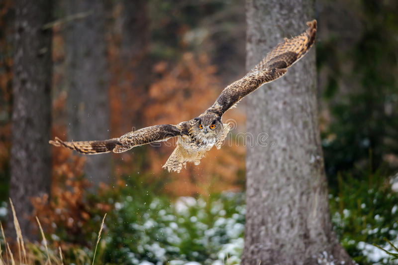 Flying Eurasian Eagle Owl in colorfull winter forest. Wing span in fly stock images