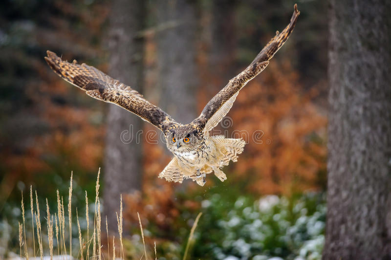 Flying Eurasian Eagle Owl in colorfull winter forest. Wing span in fly stock photography
