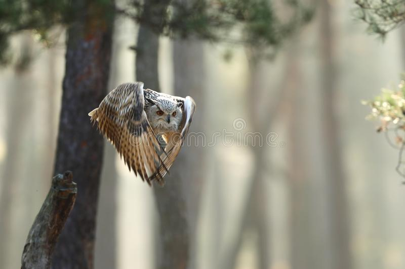 Flying Eurasian Eagle owl with open wings in autumn forest. Wildlife Europe. royalty free stock photography