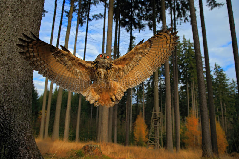 Flying Eurasian Eagle Owl with open wings in forest habitat, wide angle lens photo royalty free stock photography