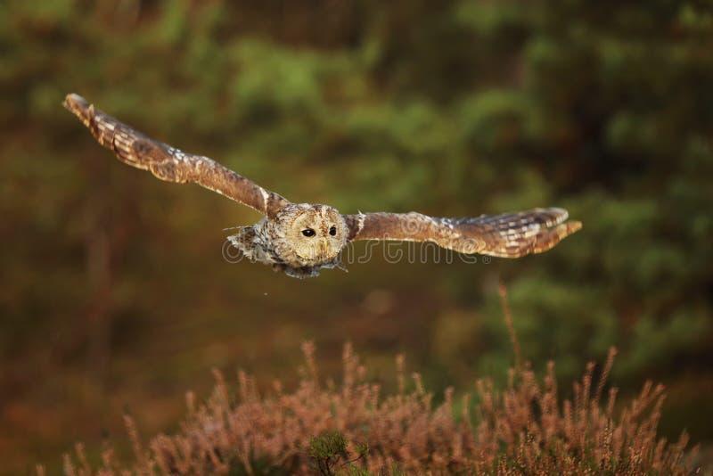 Flying Eurasian Tawny Owl, Strix aluco. Action wildlife scene from the European Owl in fly royalty free stock image
