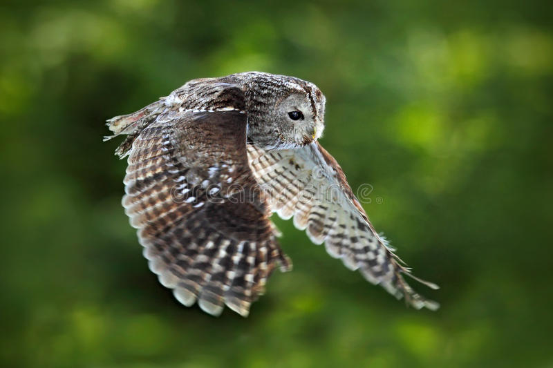Flying Eurasian Tawny Owl, Strix aluco, with nice green blurred forest in the background. Action wildlife scene from the European royalty free stock photography