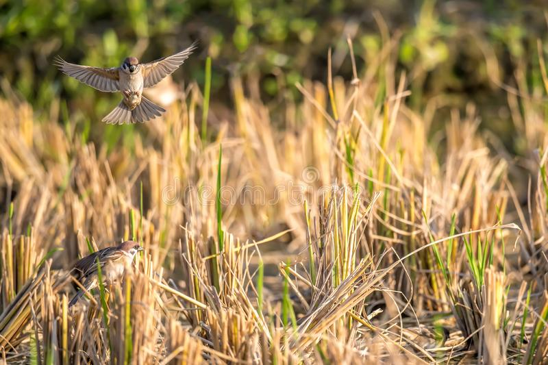 Flying Eurasian Tree Sparrow Passer montanus royalty free stock image
