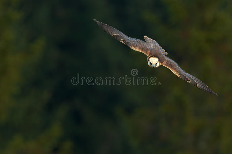 Flying falcon with forest in the background. Lanner Falcon, bird of prey, animal in the nature habitat, Poland. Bird in the flight. Europe royalty free stock photos