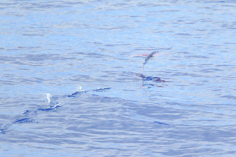 Flying fish flying on sea royalty free stock images