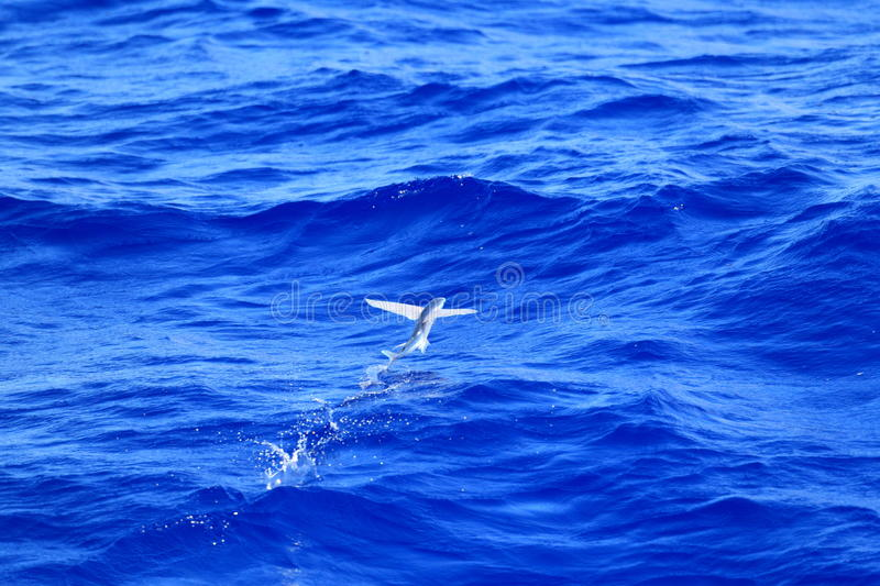 Flying fish flying on sea. Japan royalty free stock image