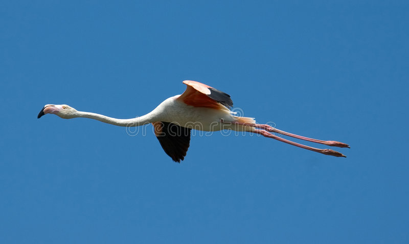 Download Flying flamingo stock photo. Image of vacation, nature - 170036