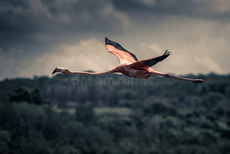 Flying flamingo stock photography