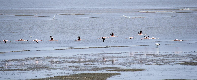 Bird Migration In Mumbai Harbor Stock Photo - Image of ...