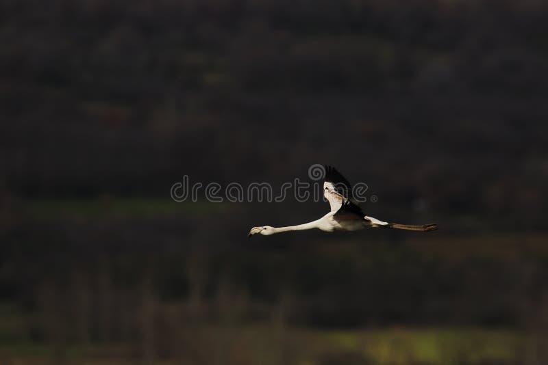 Flying flamingo stock photos