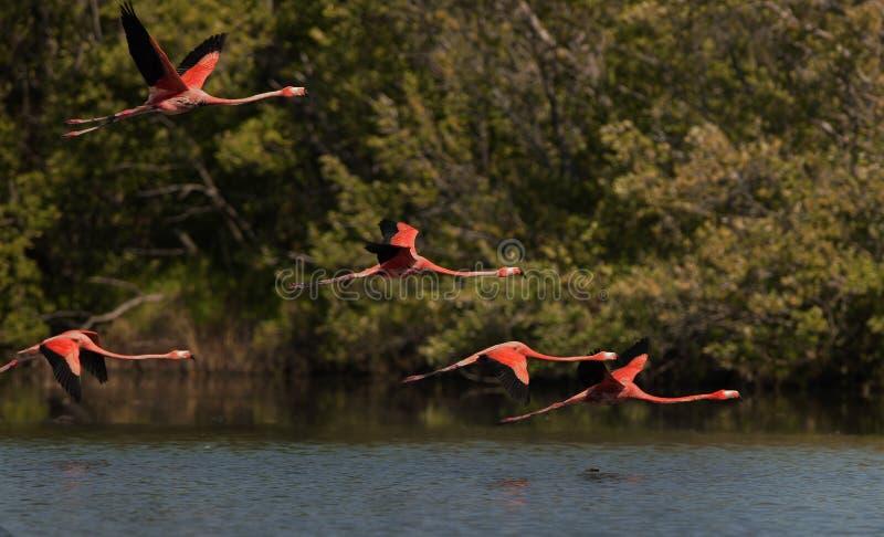 Flying Flamingos. stock images